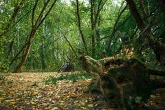 有根和漂流木头的绿色森林 图库摄影
