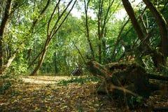 有根和漂流木头的绿色森林 库存图片