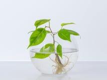 有根的植物在玻璃瓶子,花瓶 在一个空白背景 库存图片