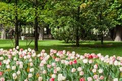 有桃红色和白色郁金香的一个美丽的春天庭院在巴黎 库存照片
