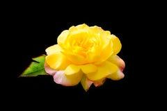 有桃红色外面瓣的黄色罗斯 免版税库存照片