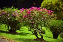 有桃红色灌木的美丽的绿色庭院草坪 免版税图库摄影