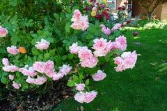 有桃红色玫瑰的围场 免版税库存照片