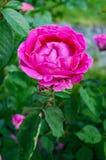 有桃红色玫瑰的布什在自然背景  一朵花开了花,在词根的许多芽 免版税库存图片