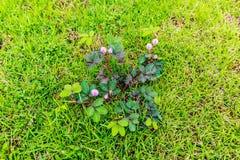 有桃红色生长在庭院里的花和刺的植物 库存照片