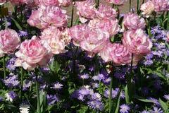 有桃红色白的郁金香的花地毯 免版税库存照片
