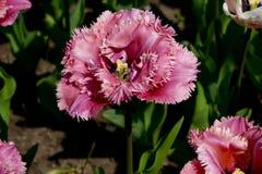 有桃红色白的郁金香的花地毯 库存照片
