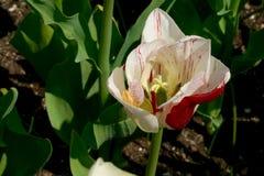 有桃红色白的郁金香的花地毯 免版税库存图片