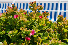 有桃红色花和镶边遮篷的一棵多汁植物 库存图片