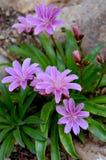 有桃红色花的假山花园厂 库存照片