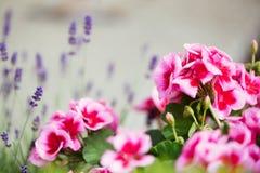 有桃红色花的大竺葵植物 免版税图库摄影