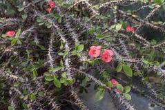 有桃红色花的棘手的布什 免版税库存图片