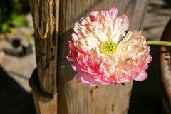 有桃红色花的睡莲叶 免版税库存照片
