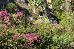 有桃红色花的美丽的布什在山腰 免版税库存图片