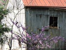 有桃红色花的老谷仓在前面 库存图片
