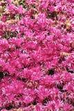 有桃红色花的草甸在春天期间 库存照片