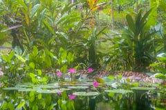 有桃红色荷花和热带水生植物的自然池塘 免版税库存图片