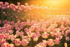 有桃红色郁金香的花圃在日落 免版税库存照片