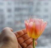 有桃红色黄色郁金香的男性手在被弄脏的都市背景 库存照片