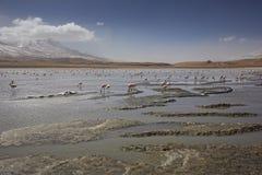 有桃红色flamengo的湖Canapa,阿塔卡马沙漠,玻利维亚 免版税库存图片