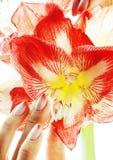有桃红色Ombre的秀丽精美手设计举行关于的修指甲 免版税库存照片