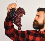 有梦想的面孔的种葡萄并酿酒的人吃紫色葡萄群 库存照片