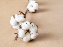 有棉绒关闭的成熟蒴在褐色 免版税库存照片