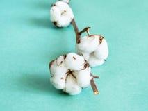 有棉绒的成熟蒴在绿色的枝杈 库存照片
