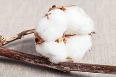 有棉绒的蒴在紧密棉织物 库存图片