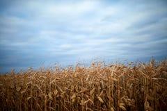 有棒子的干燥玉米种植在农田 库存照片