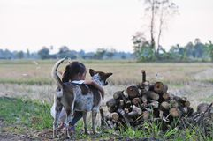 有棕色和白色狗的女孩在领域在农村泰国 库存照片