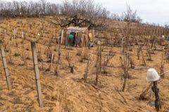 有棚子的Cutted葡萄园在春天 免版税图库摄影