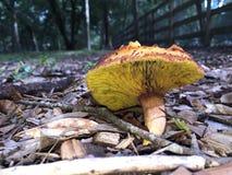 有棱角的牛肝菌蘑菇 图库摄影