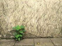 有植物的肮脏的墙壁 图库摄影