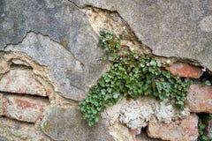 有植物的被毁坏的墙壁 免版税库存图片