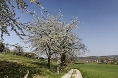 有樱桃树的小径在哈根,下萨克森州,德国 免版税库存图片