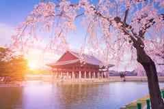有樱花树的景福宫宫殿在春天 免版税库存照片