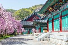 有樱花的景福宫宫殿在春天,韩国 免版税库存图片