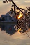 有樱花的杰斐逊纪念品在与樱花的日出 库存图片