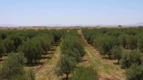 有橄榄树和蓝天,手扶的射击行的绿色庭院  影视素材