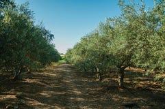 有橄榄树的果树园在农场 免版税库存照片