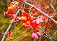 有橙色和桃红色开花的布什 免版税库存照片