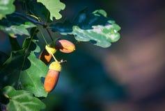 有橡子的橡木枝杈 图库摄影