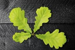 有橡木叶子的枝杈 免版税图库摄影