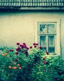 有残破的窗口的玫瑰丛 免版税图库摄影