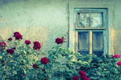 有残破的窗口的玫瑰丛 库存照片
