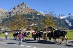 有母牛牧群的农夫在每年季节性牲畜移动的 库存照片