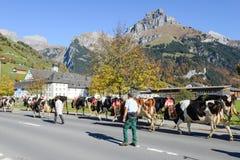 有母牛牧群的农夫在每年季节性牲畜移动的 免版税库存照片