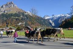 有母牛牧群的农夫在每年季节性牲畜移动的 图库摄影