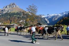 有母牛牧群的农夫在每年季节性牲畜移动的 库存图片